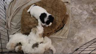 Coton Puppies For Sale
