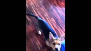 Tebow The German Shepherd/bullmastiff Puppy
