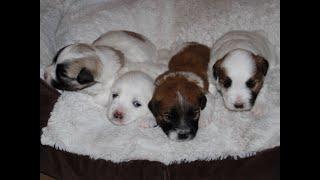 Coton Puppies For Sale - Vivian 7/20/20
