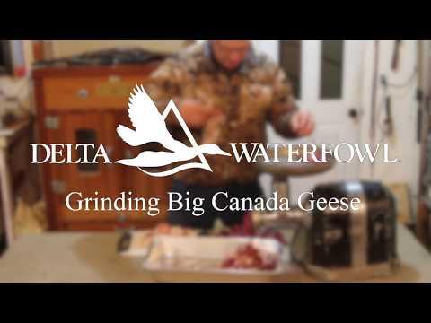 Grinding Big Canada Geese