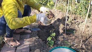 Trồng khoai lang | khoai tây cuối mùa thu/cuộc sống mỹ/vườn rau người việt ở mỹ/BÌNH TÂM USA FAMILY