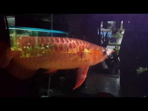 ปลามังกรแดง พาฝัน (บังแระ)
