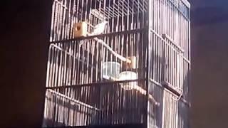 Suara burung sanger jantan gacor