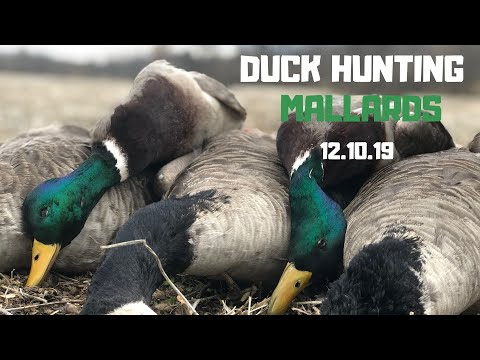 Duck Hunting | Missouri Mallards