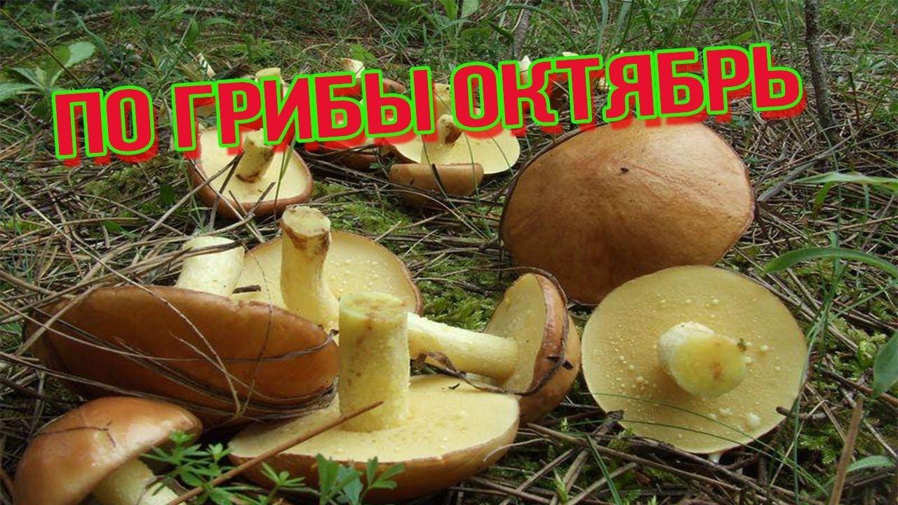 маслята фото гриба