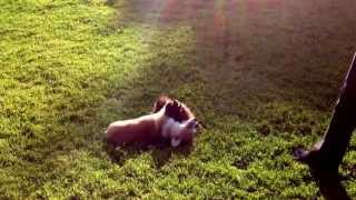Welsh Corgi Mocha And Pomeranian At Cheviot Hills Park, Ca