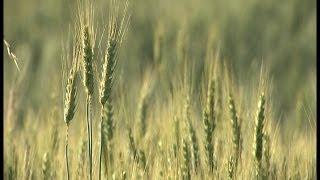 A Renaissance of Grain in Western Washington