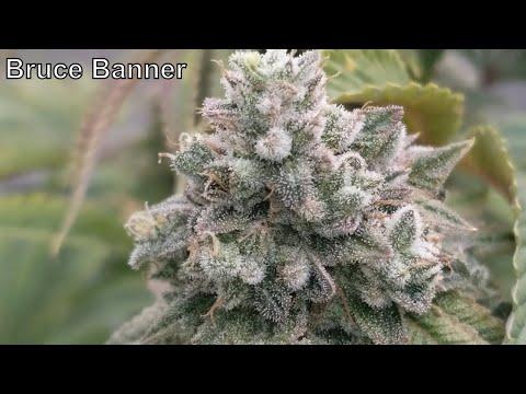 Bruce Banner Harvest And Autoflower Update #ILGM #MarsHydro