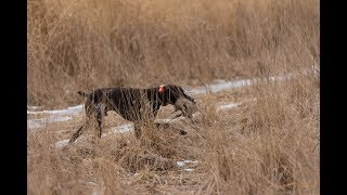 Pheasant & Chukar Hunting with German Shorthaired Pointer - Whispering Wings Wisconsin
