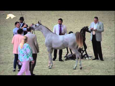 4th Qatar National Arabian Horse Show for Individual Owners, Day 1
