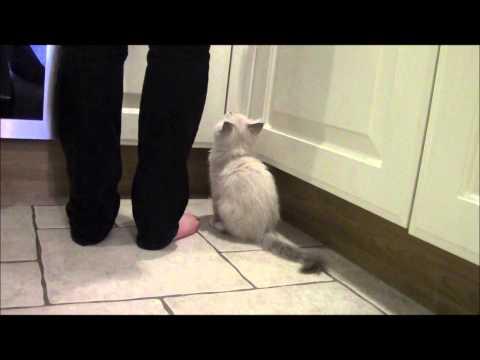 Noisy Ragdoll Kitten