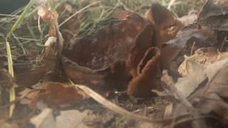 Peziza badia spore release