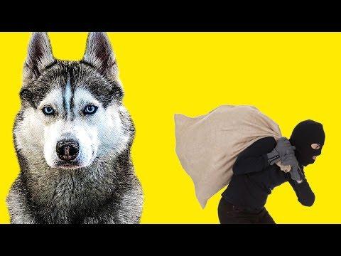 БУБЛИКА УКРАЛИ!! (Хаски Бандит) Говорящая собака!