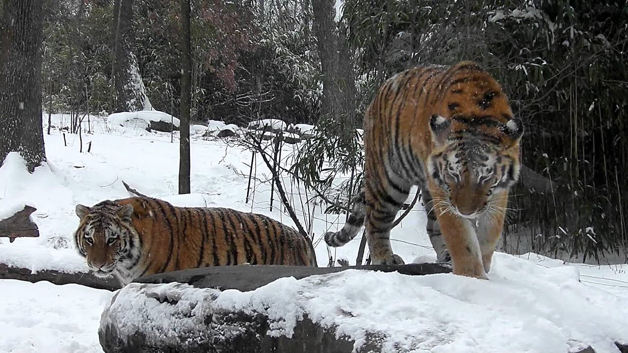 siberian tiger triplets play in the first snow of 2012in hd
