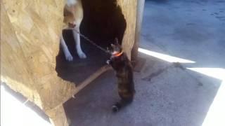 Кошка сошла с ума напала на собаку