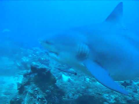 Female Carcharhinus leucas (bull shark) in Fiji