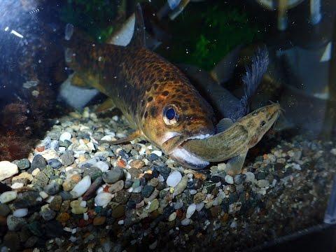 北海道の外来生物・ブラウントラウトの生態 Ecology of Brown trout at Hokkaido Japan