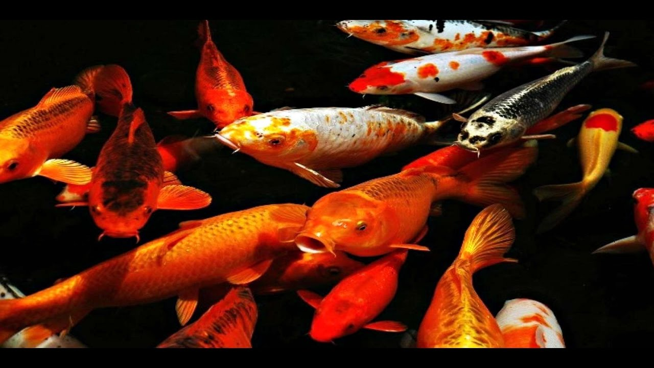 Everything about koi fish caring breeding feeding for Koi reproduction