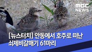 [뉴스터치] 안동에서 호주로 떠난 쇠제비갈매기 61마리 (2020.07.14/뉴스투데이/MBC)