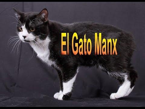 El Gato Manx - Razas de gatos