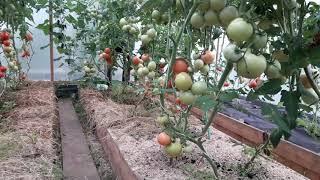 Подведения итогов выращивания томатов в теплице в Сибири 2018. Всё об уходе за томатами.