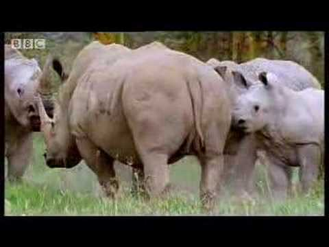 rhinos look for love