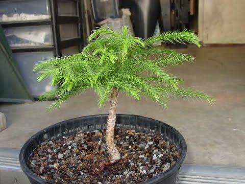 Norfolk Island Pine Bonsai Tree