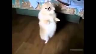 Собаки тоже любят танцы
