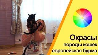 Окрасы кошек породы европейская бурма