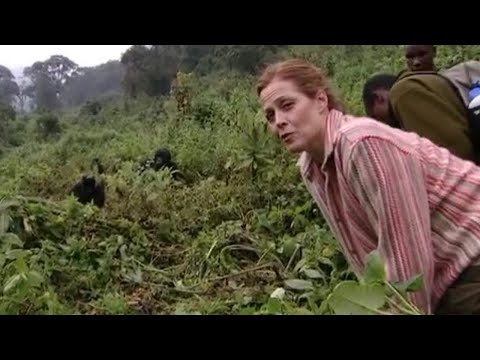 Gorilla Manners - Gorillas Revisited with Sigourney Weaver - BBC