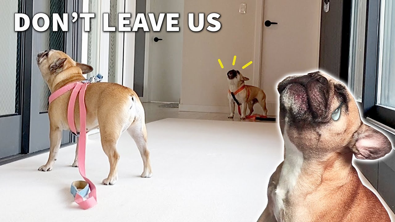 Get Your Dog Ready For A Walk And Pretend You Forgot Them   Frenchie MELTDOWN