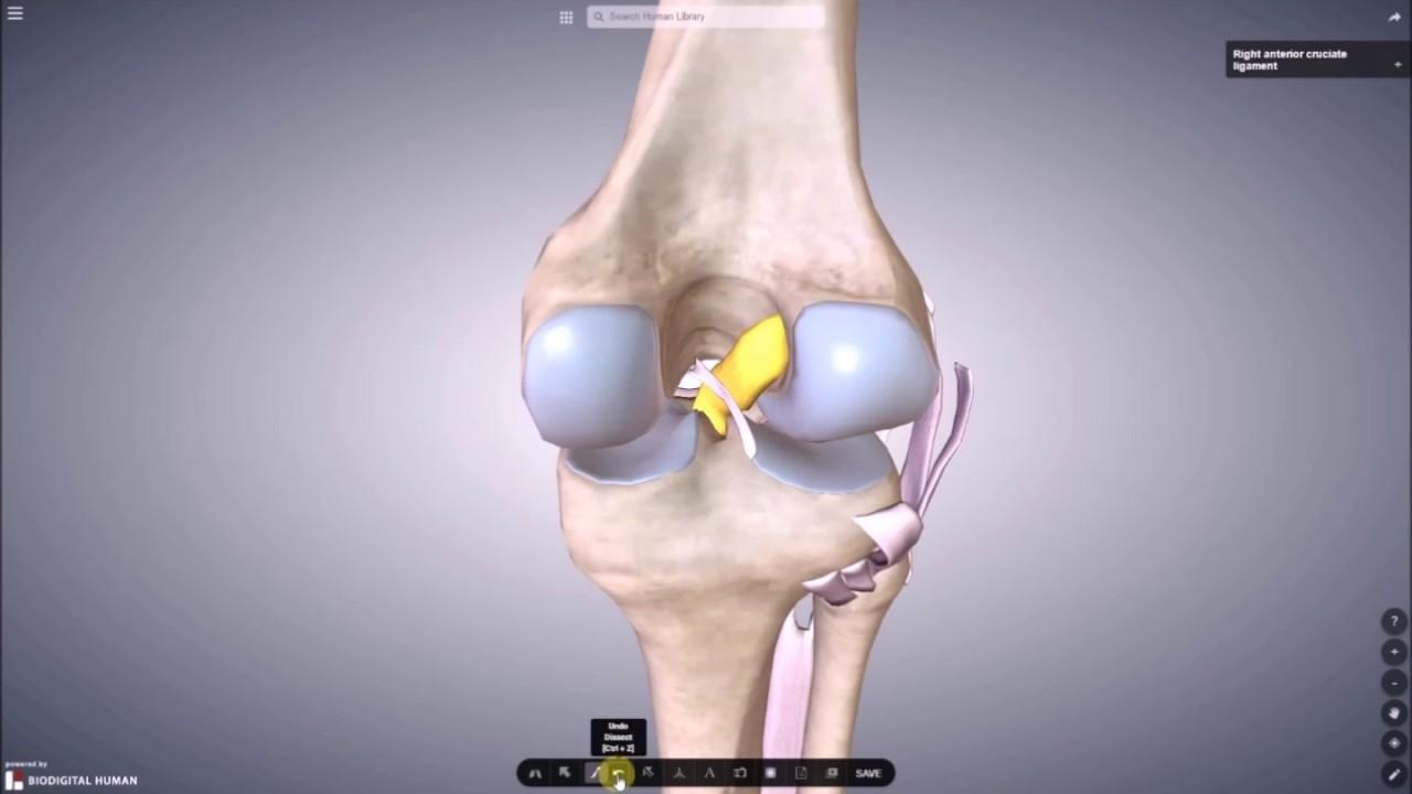 Bänder und Menisken im Kniegelenk - YouTube