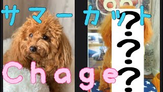 【♡サマーカットで大変身♡】トイプードルメリィ!トリミング!盛り沢山な1日!!【I got a summer cut by trimming♡】toypoodle marry♡ thumbnail