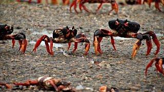 Миллионы крабов заполонили побережье кубинского залива Свиней (новости)