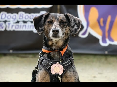 Luna - Dachshund x Jack Russell - 4 Weeks Residential Dog Training