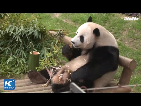 Cuddly envoys overseas: Giant pandas in Yongin, South Korea