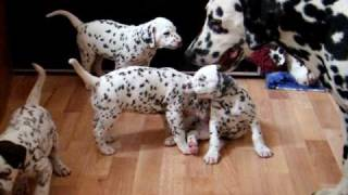 Dalmatian Puppies 4,5weeks  - Playing With Adults
