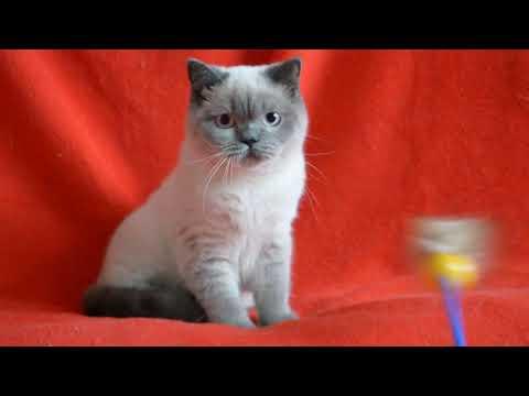 Купить шотландского котенка. Котята шотландские окраса блю-поинт.