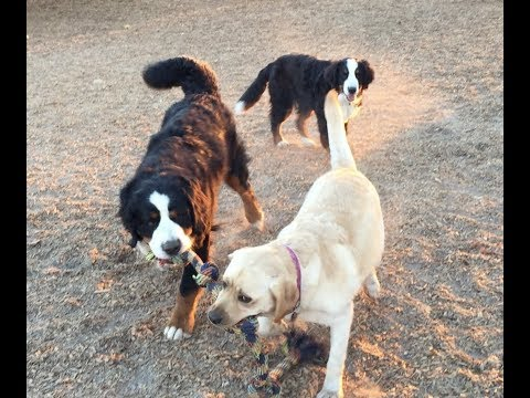 Bernese mountain dog tug of war with yellow Lab, cameo appearance from Bruce
