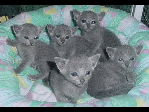 Russian Blue Cat and Kittens | History of This Charming Breed