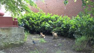 Magpie vs Fox