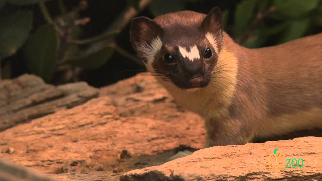 OC Zoo's long-tailed weasel in action - YouTube