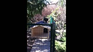 Staffordshire Bull Terrier Easy Jump Over