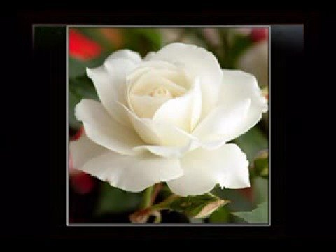 999 hoa hồng