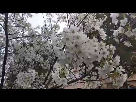Cherry blossom at Shanghai University of Political Science and Law
