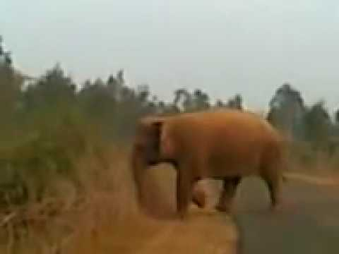 Elephant At District-.Bankura.West Bengal.