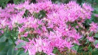 видео Лиатрис: посадка и уход в открытом грунте, выращивание и сочетание в ландшафтном дизайне, фото, размножение сорта