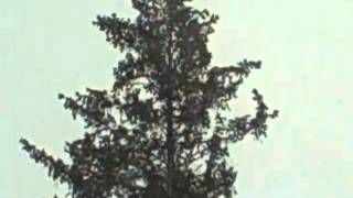 Bald Eagle-Adorns an 80 ft Xmas Tree- Clinton,IA,USA