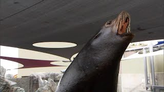 What to Do if You're Confronted By an Aggressive Sea Lion
