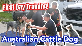 Australian Cattle Dog Puppy 7 months Old!  First Training Lesson
